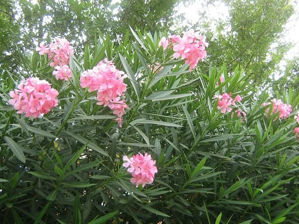 10 plantas venenosas que tenemos en casa - Plantas ornamentales venenosas ...