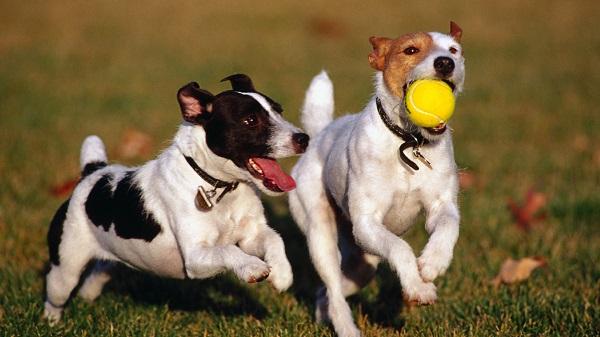 lobos-mas-inteligentes-que-perros-3