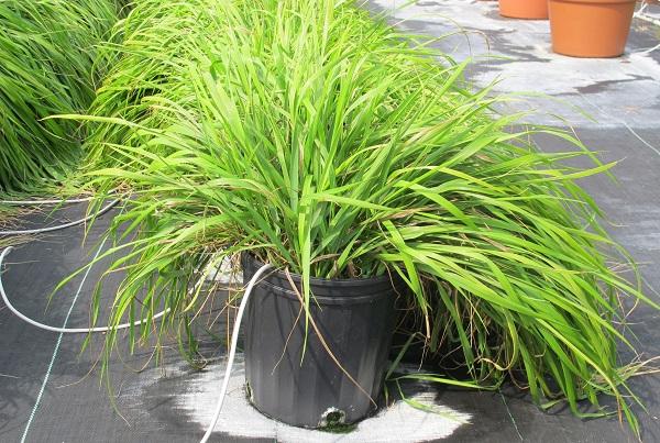 aceite-sweetgrass-repelente-mosquitos-2