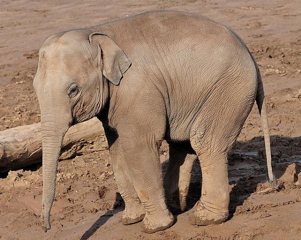elefantes-clave-curar-cancer-2