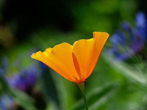 Amapola de California. Fuente: Pixabay