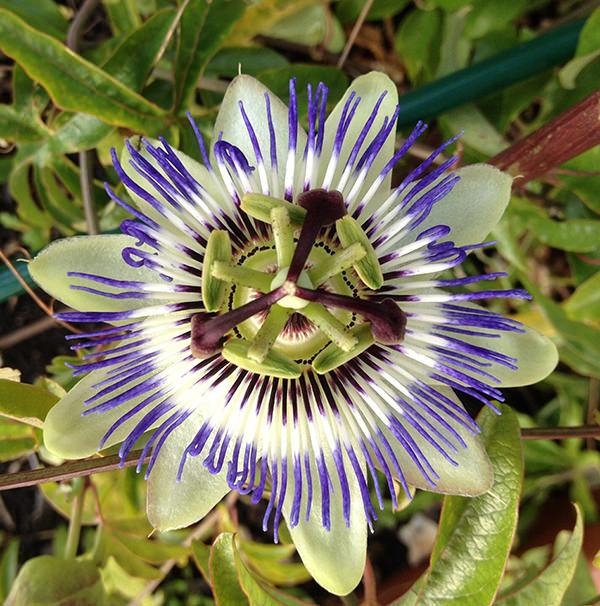 Pasiflora. Fuente: Pixabay