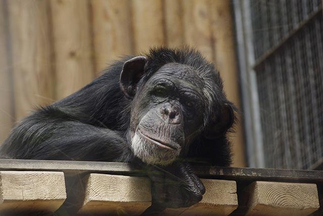 eeuu-acabar-investigacion-medica-chimpances
