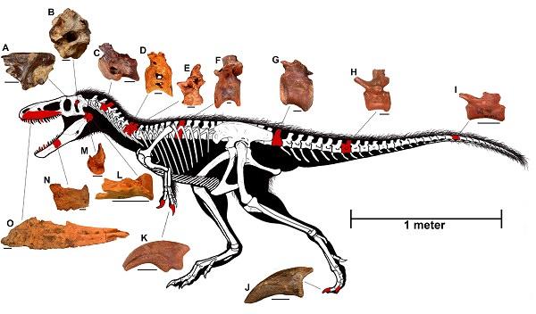 Imagen del esqueleto de Timurlengia. Fuente: Todd Marshall y Steve Brusatte