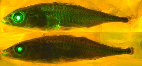 Pez transgénico que emite fluorescencia. Fuente: O'Brown/Flickr