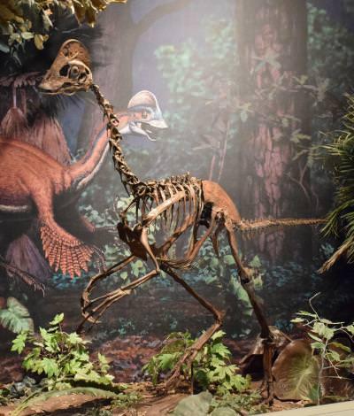 Otro ejemplar de Ovi Fuente: Carnegie Museum of Natural History