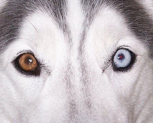 Perro con heterocromía.