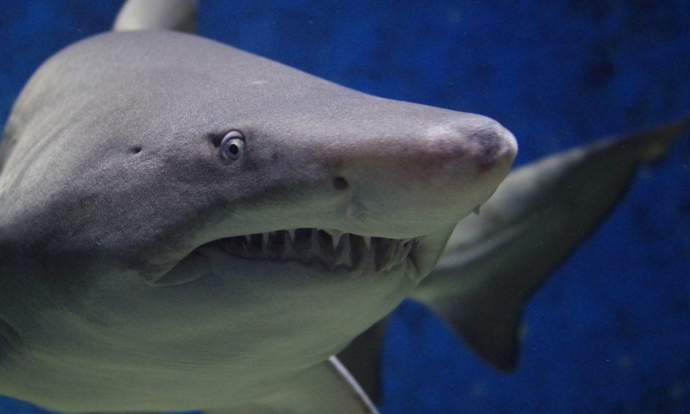 como-nacen-tiburones