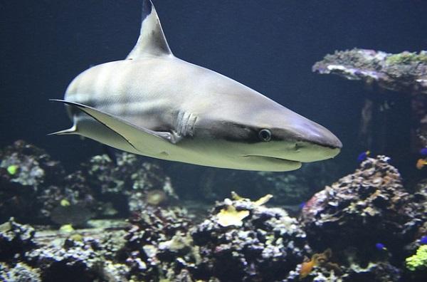 como-nacen-tiburones-2