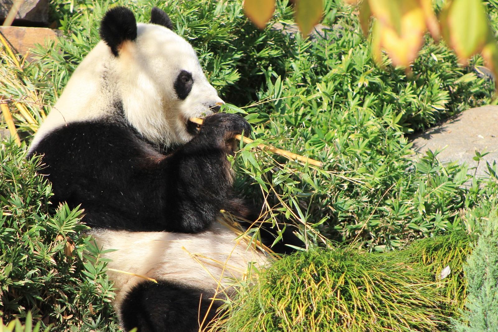 Por qué los osos panda son de color blanco y negro?