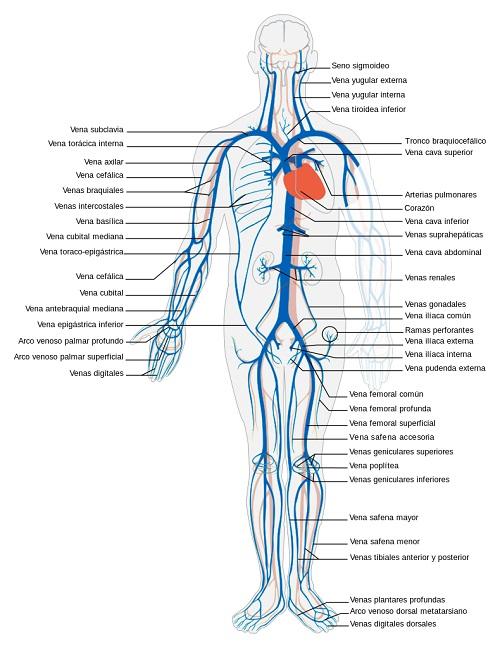 Cuál es la diferencia entre una arteria y una vena?