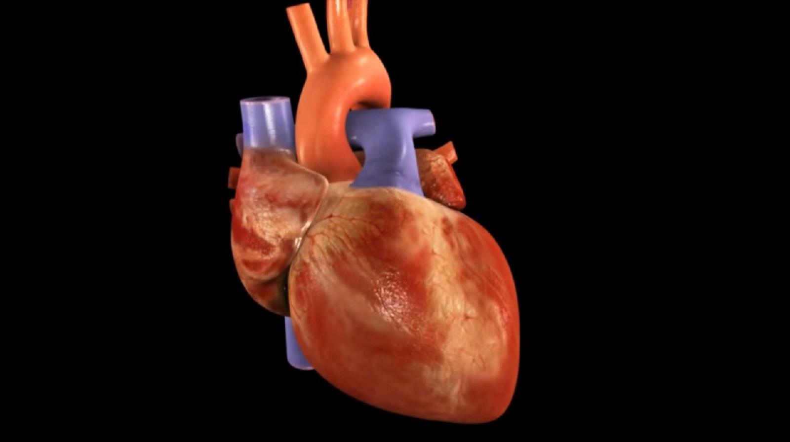 Por qué el corazón está en la parte izquierda de nuestro cuerpo?