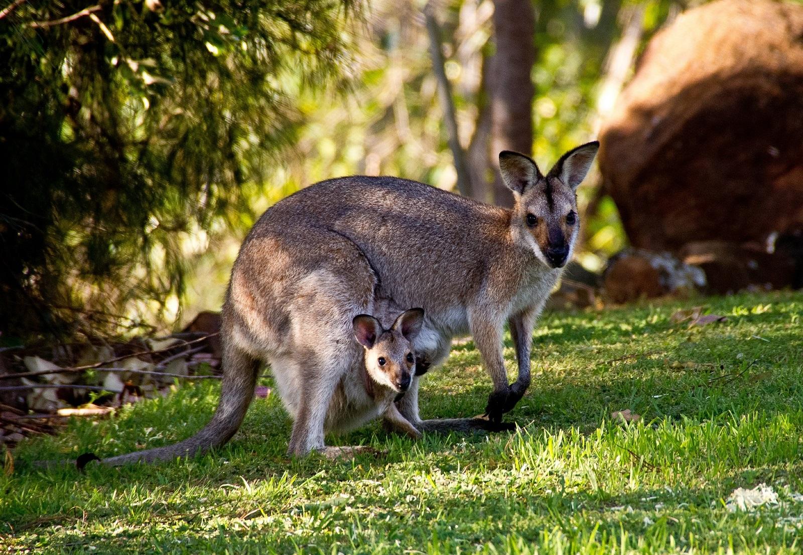 Qu son los marsupiales y qu animales pertenecen a esta for Cuales son los cajeros red